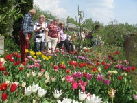 110430_v_tulipany2